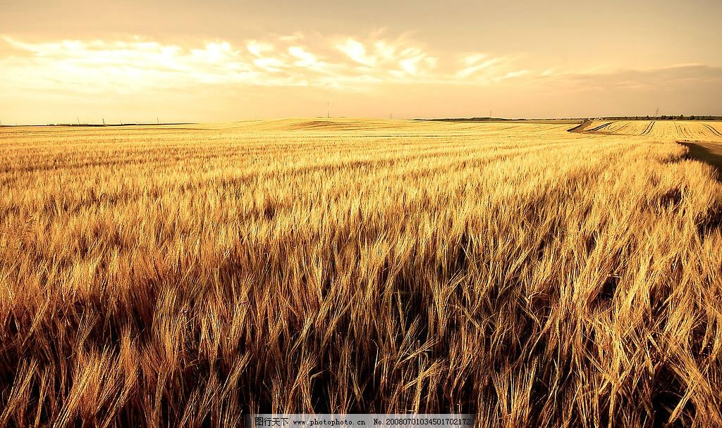 麦田 金色麦田 秋色 丰收 麦子 自然景观 田园风光 摄影图库 300 jpg