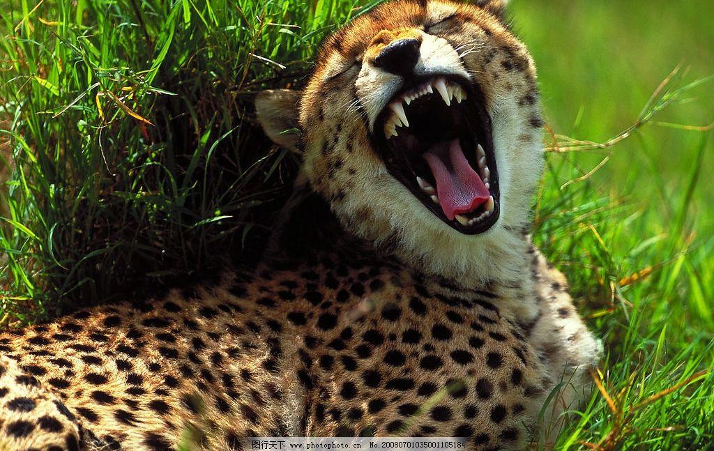 动物 非洲 豹子