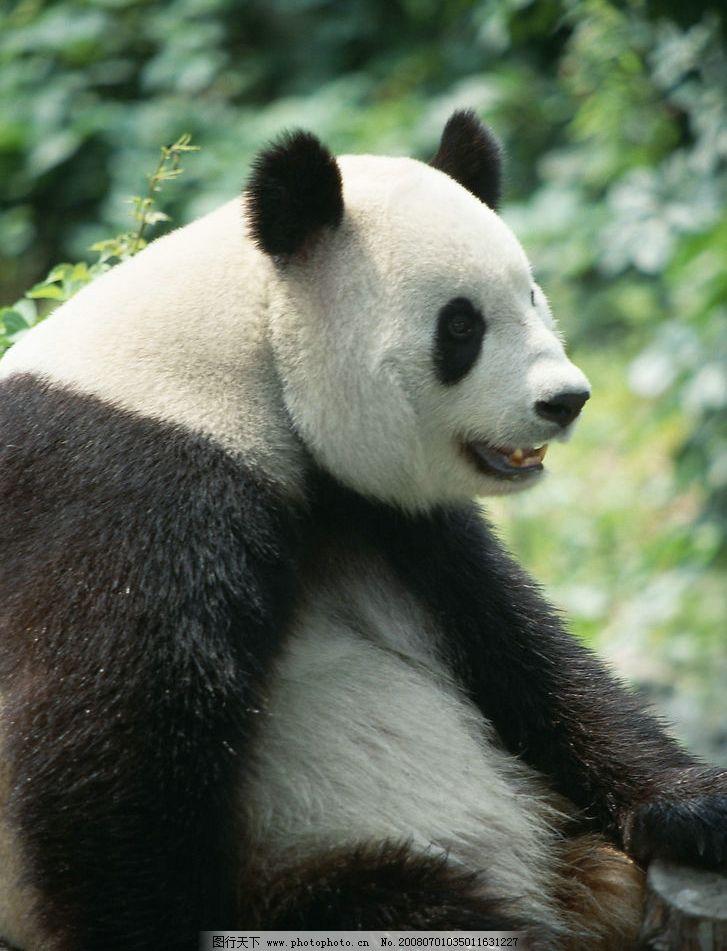 熊猫 坐着 生物世界 野生动物 摄影图库 350 jpg