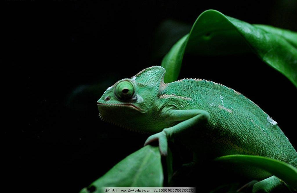 变色龙 生物世界 野生动物 有用的素材 摄影图库