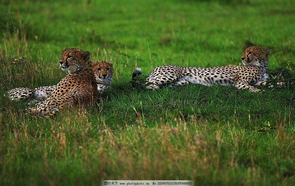 非洲豹 豹 动物 非洲 豹子