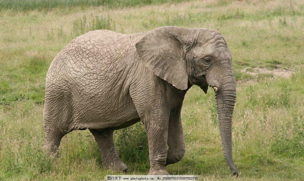 大象 草地 生物世界 野生动物 摄影图库 72 bmp