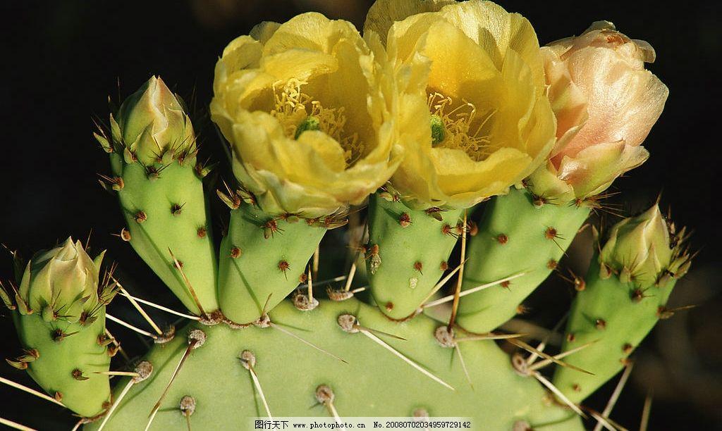 仙人掌 开花 植物 风景 鲜花 刺 自然景观 其他     素材图片 摄影