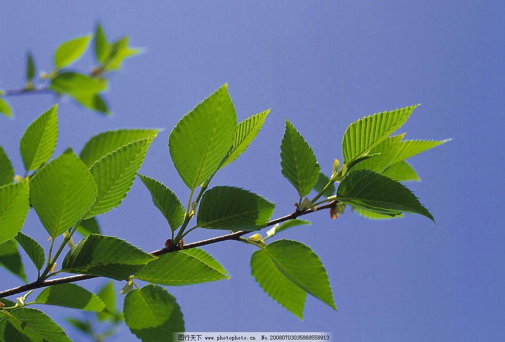 树叶 树叶 绿叶 叶子 树枝 生物世界 树木树叶 摄影图库 300 jpg