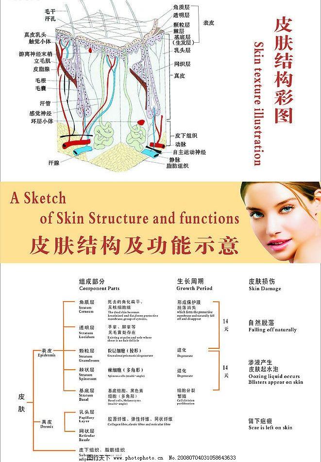 皮肤结构及功能示意图图片