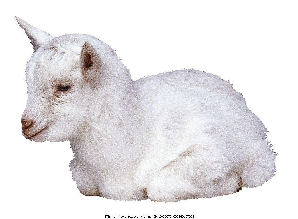 卧着的羊羔 卧着 羊羔 可爱 雪白 动物 生物世界 家禽家畜 可爱的动物