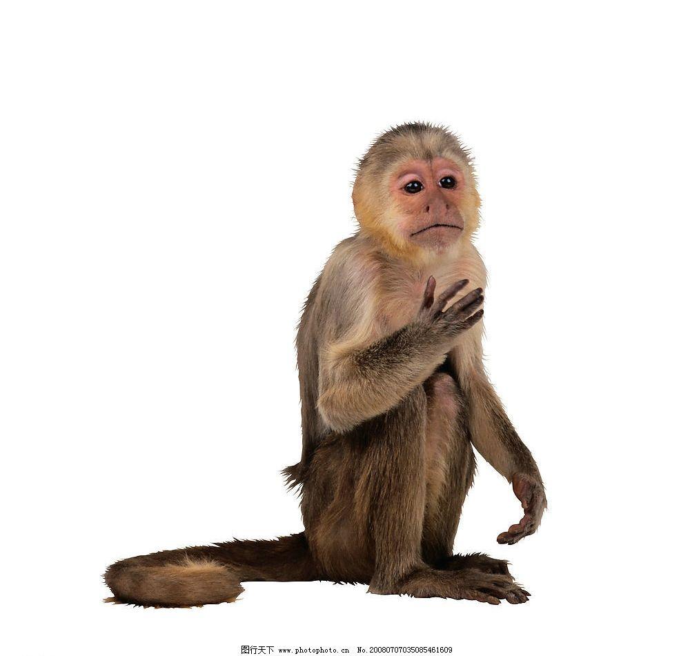 猴子 猴 猿类 灵长类 动物 生物世界 野生动物 摄影图库 300 jpg