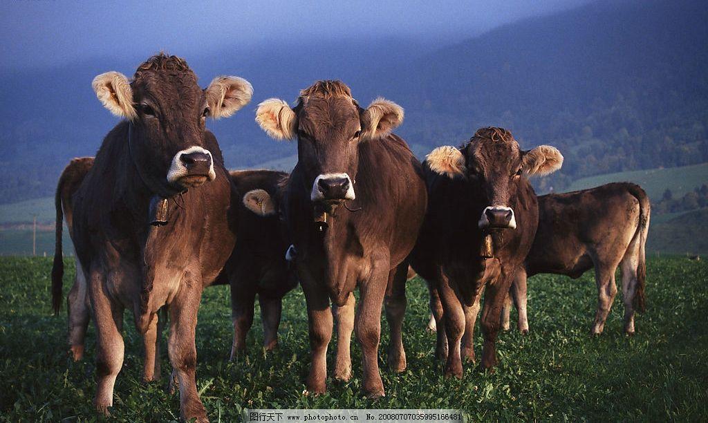 牛 温顺 动物 观望 雾气 家禽 生物世界 家禽家畜 可爱的动物宝宝