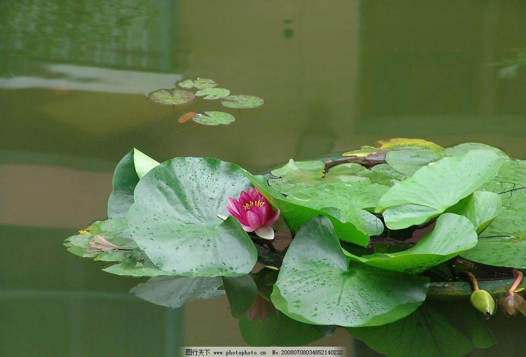 荷花 水池 自然景观 自然风景 摄影图库