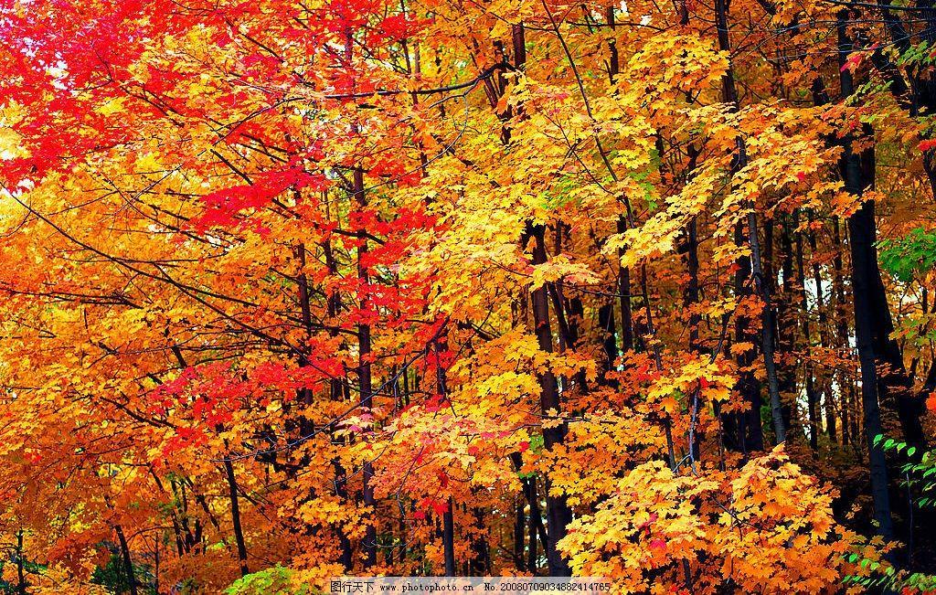 枫树林图片图片