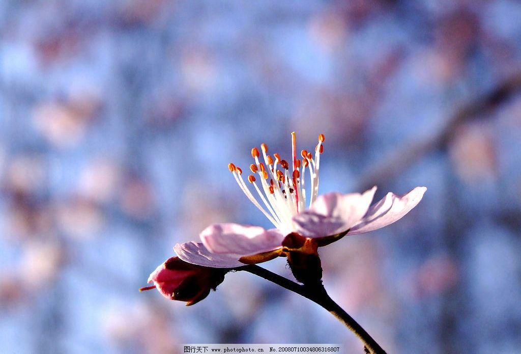 晨曦中绽放 早晨 杏花 春天 花蕾 自然景观 自然风景 摄影图库 300