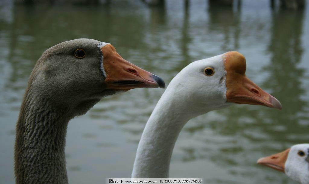 鹅家禽动物图片