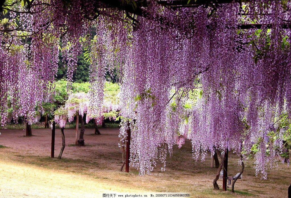 紫藤花 花藤 紫色 绿叶 背景 支架 自然景观 自然风景 摄影图库 300