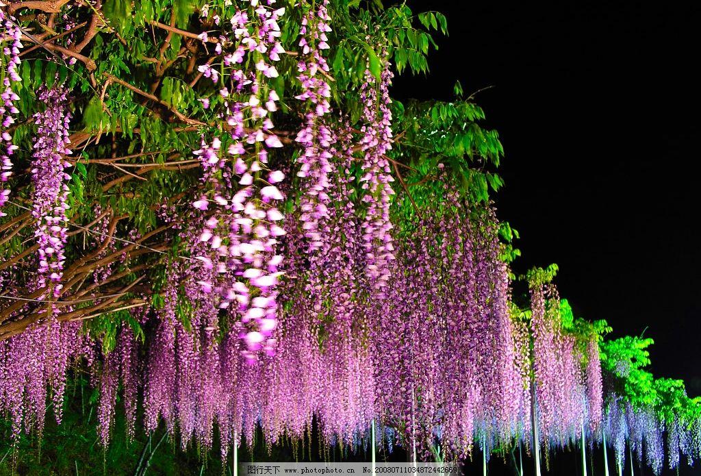 紫藤花图片_自然风景_自然景观_图行天下图库