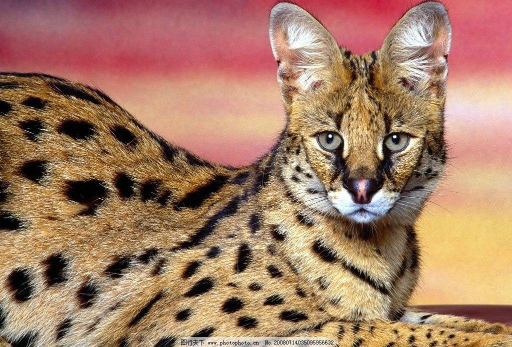 眼睛 猫科动物 生物世界 野生动物 狮虎豹 摄影图库 72dpi jpg