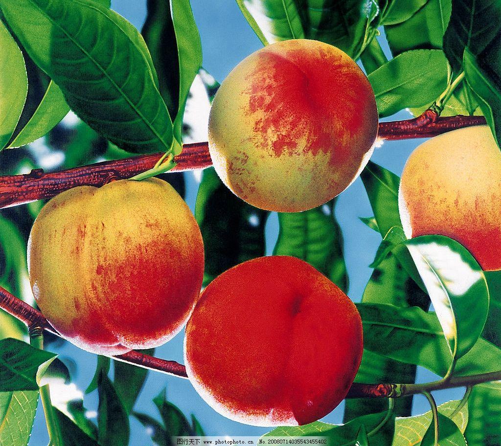 桃子 桃 水果 生物世界 水果类 摄影图库 350dpi jpg