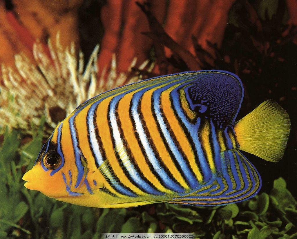 漂亮的花纹鱼 蓝色 橘色 条纹 海底 动物 生物世界 鱼类 美丽的海底