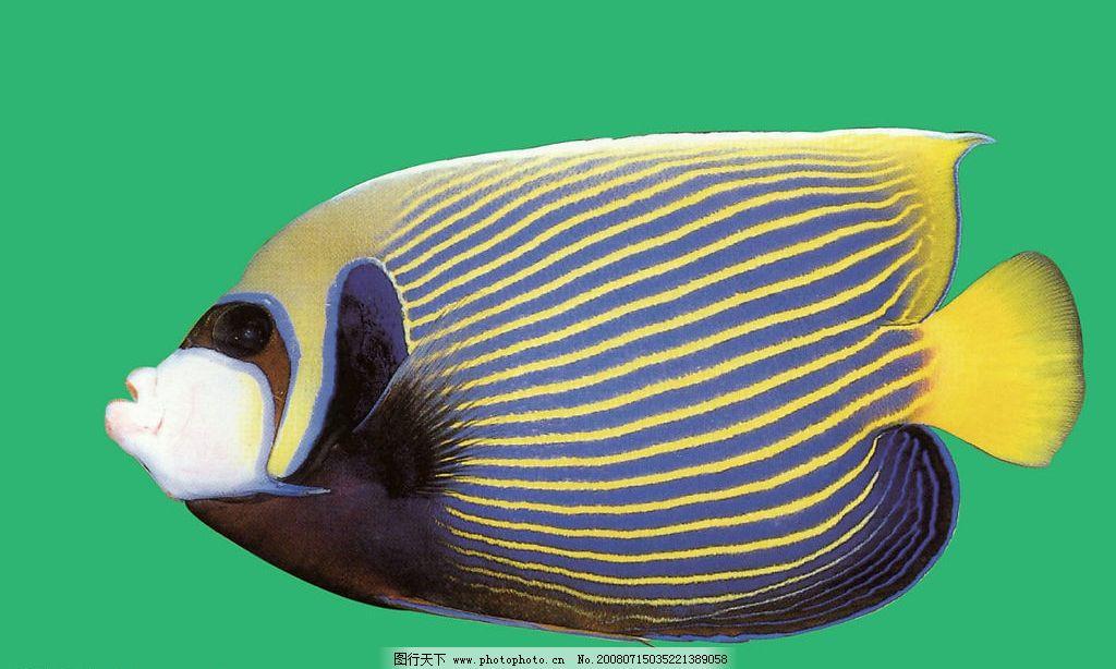 花纹 鱼 黄色 海底 动物 绿色 背景 生物世界 鱼类 美丽的海底动物
