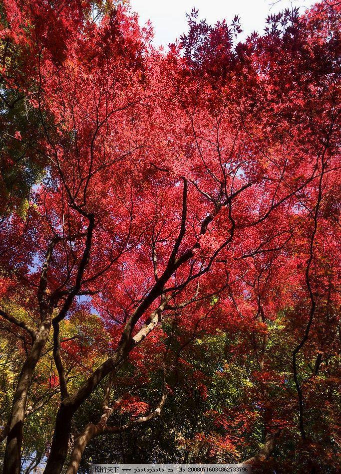 枫树 枫叶 枫 秋 树林 红叶 自然景观 自然风景 摄影图库 240dpi jpg