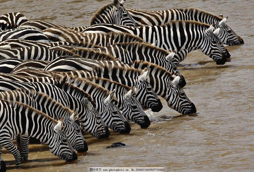 喝水的斑马 斑马 喝水 河流 饥渴 野生动物 成群结队 壮观 自然 生物