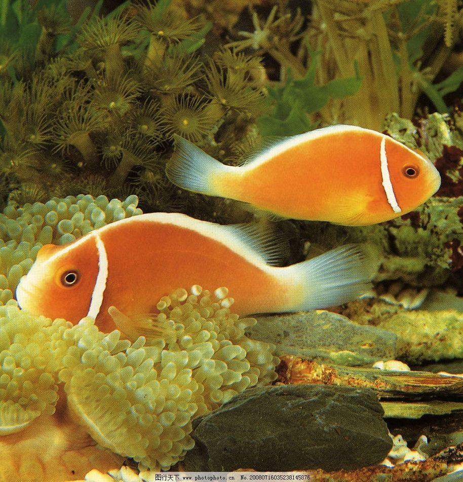 漂游的小鱼 漂游 小鱼 红色 可爱 海底 世界 动物 生物世界 鱼类 美丽