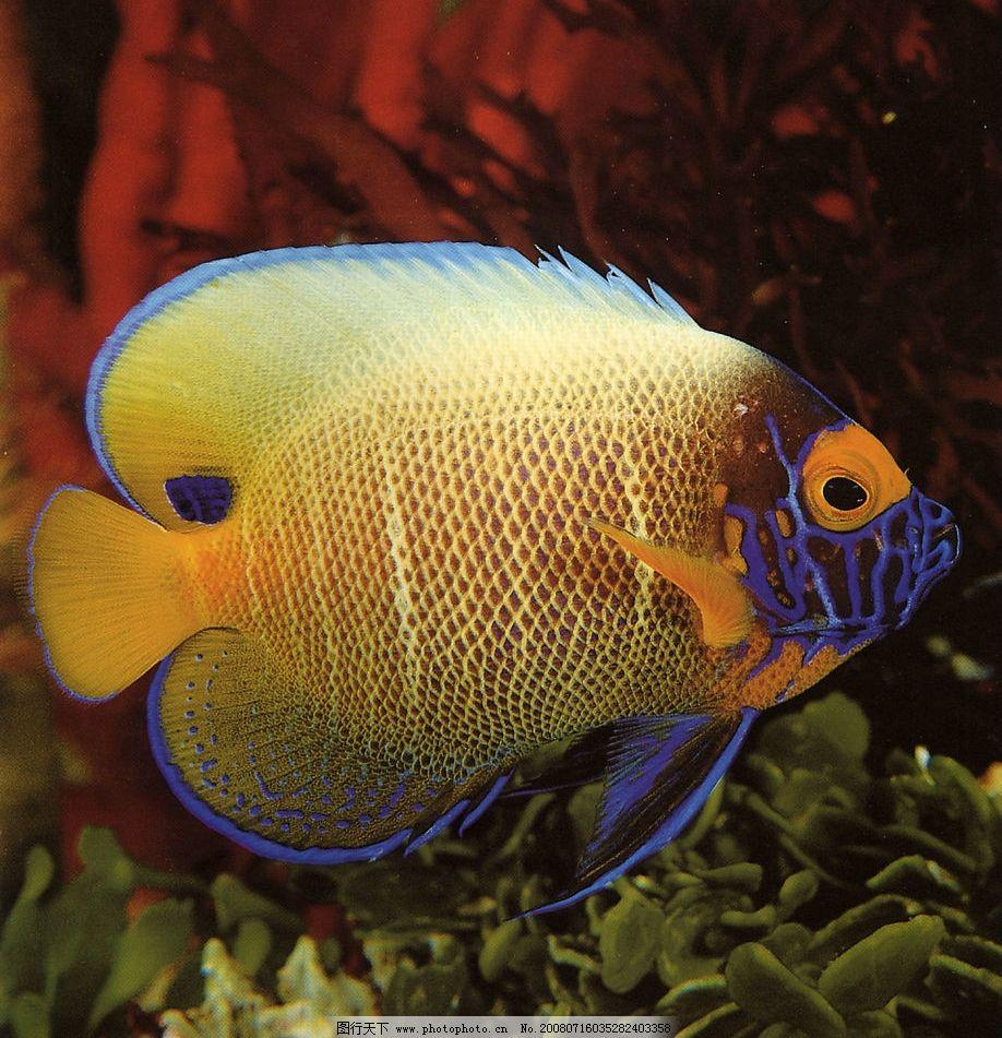 带闪电的鱼 闪电 蓝边 鱼 金色 海底 动物 奇特 生物世界 鱼类 美丽的