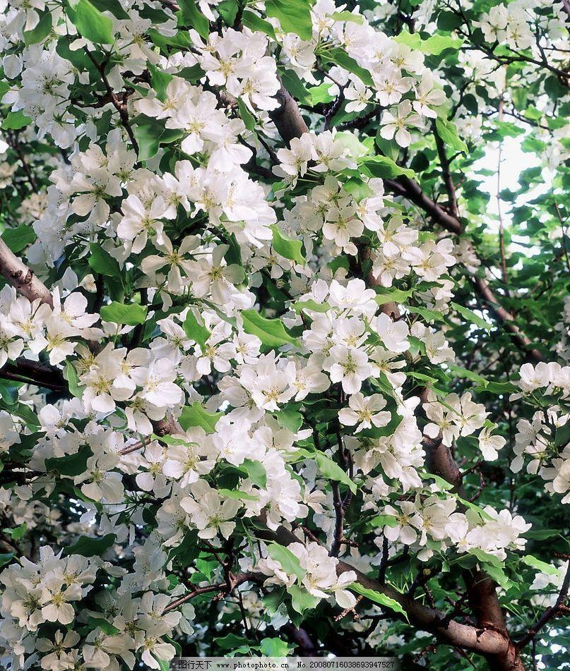 梨树花开 梨树 开花 花朵 春天 旅游摄影 自然风景 美丽风光素材 摄影