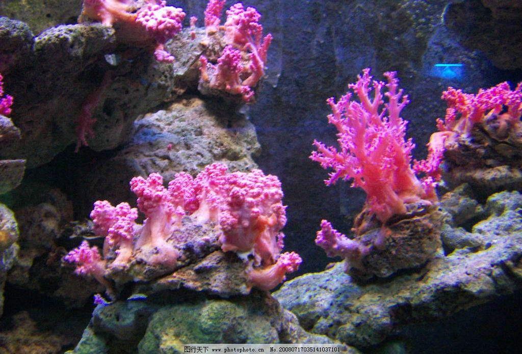 生物世界 珊瑚 礁石 粉红色 海洋生物 海底世界 摄影图库 1dpi jpg