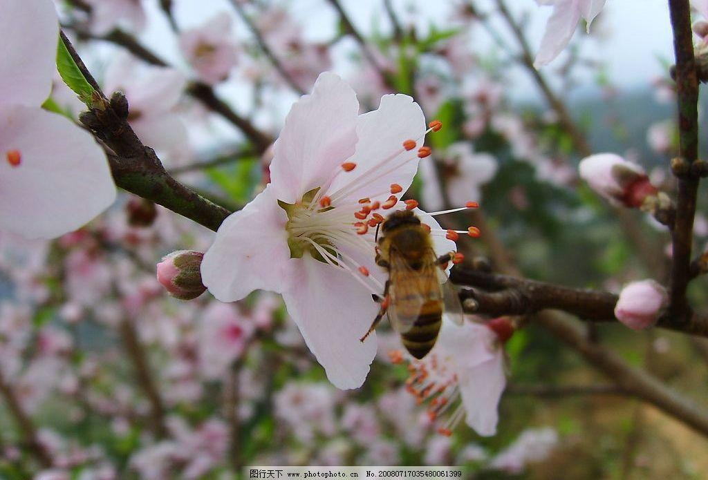 小蜜蜂采蜜忙 春天 桃花开 桃园 忙碌 绿色 粉色 花瓣 工作