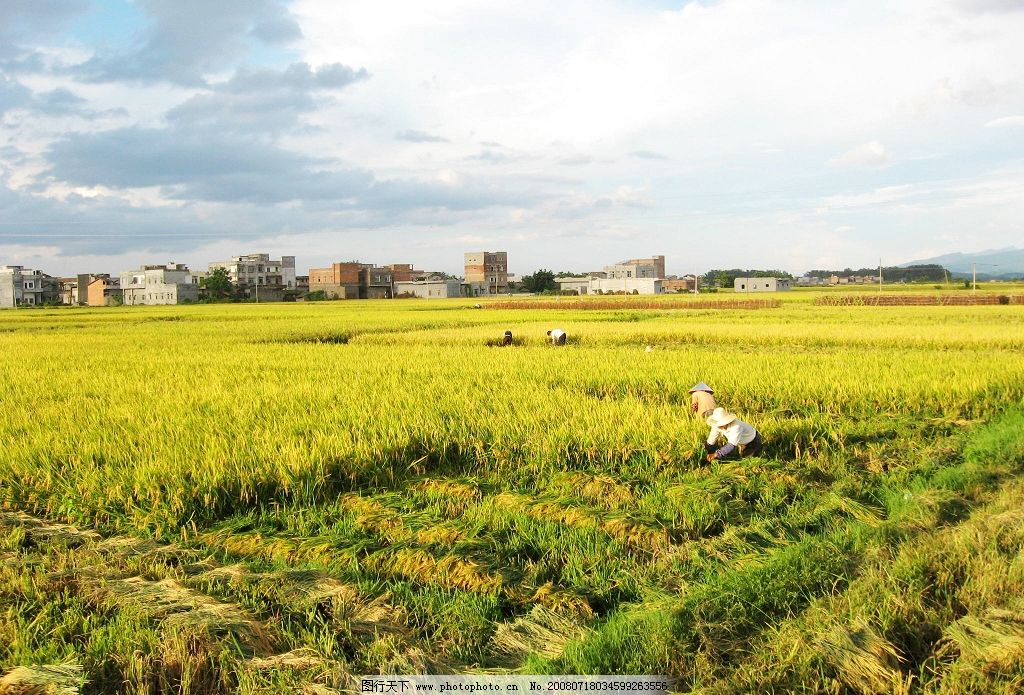水稻丰收的季节图片