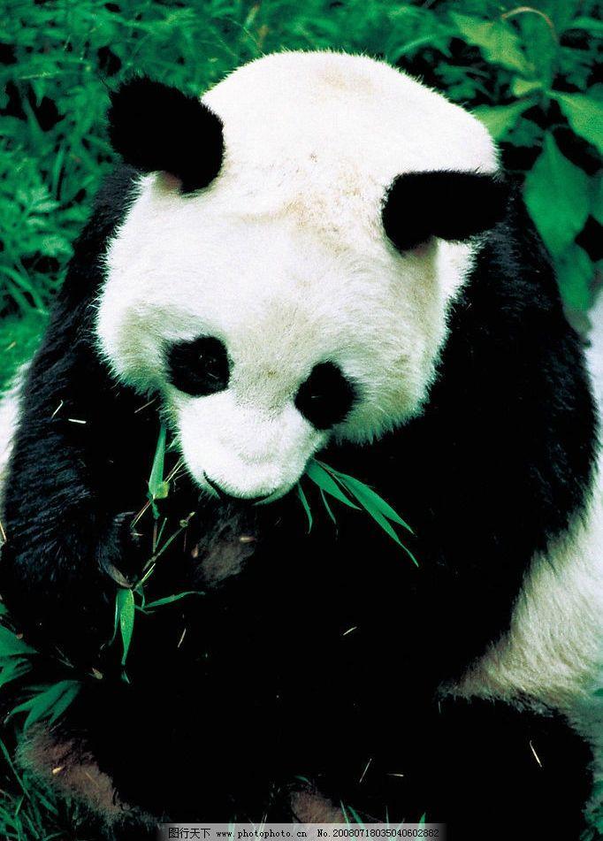 熊猫 大熊猫 野生动物 中国大熊猫 生物世界 摄影图库 300dpi jpg