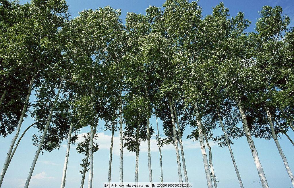 白桦林美景 白桦树 树木 树叶 树干 天空 白云 草地 摄影图库
