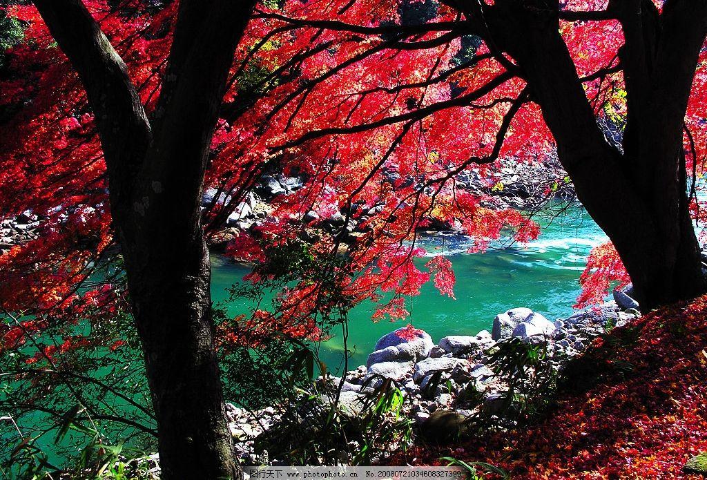 香山红叶树图片图片