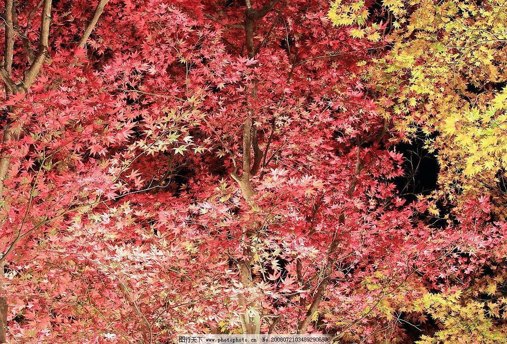 红色枫叶 枫树 风景图片 美图 秋季 秋天 心情 摄影图库