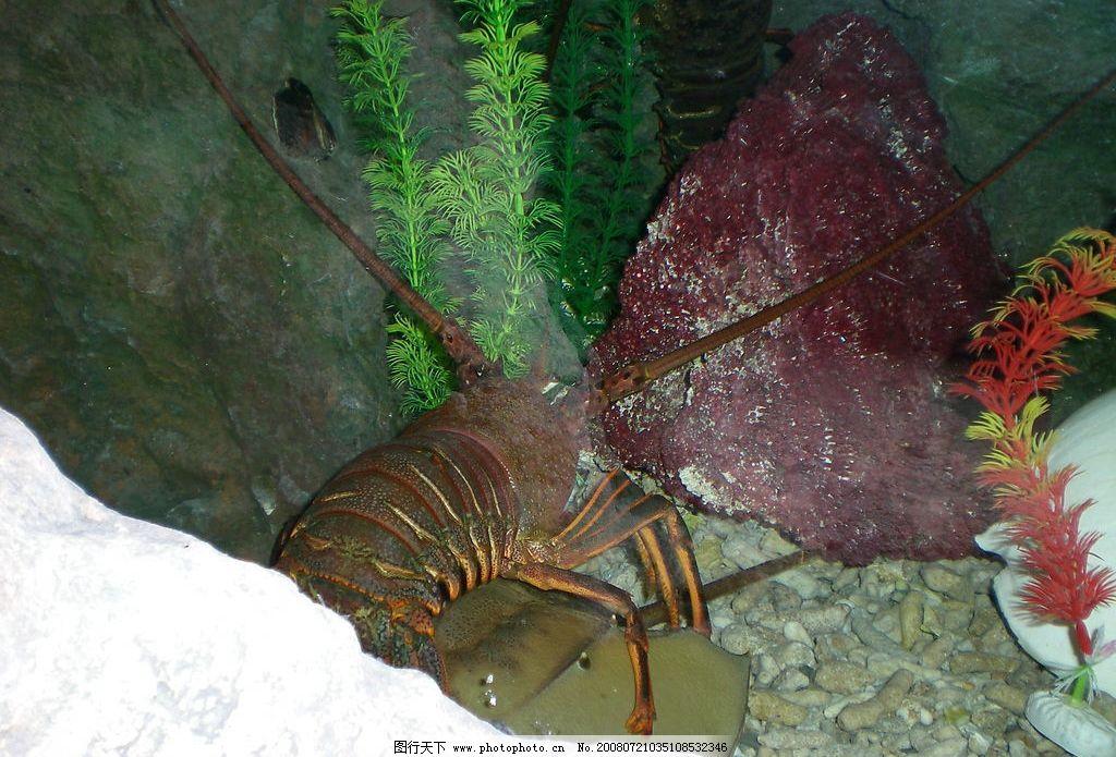 龙虾 海底世界 水槽 礁石 生物世界 海洋生物 摄影图库 300dpi jpg