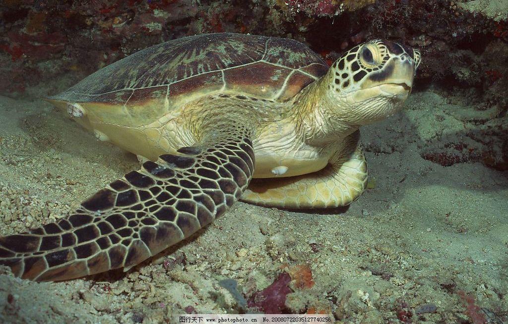 海底乌龟 大海 乌龟 生物世界 海洋生物 生物 摄影图库 jpg
