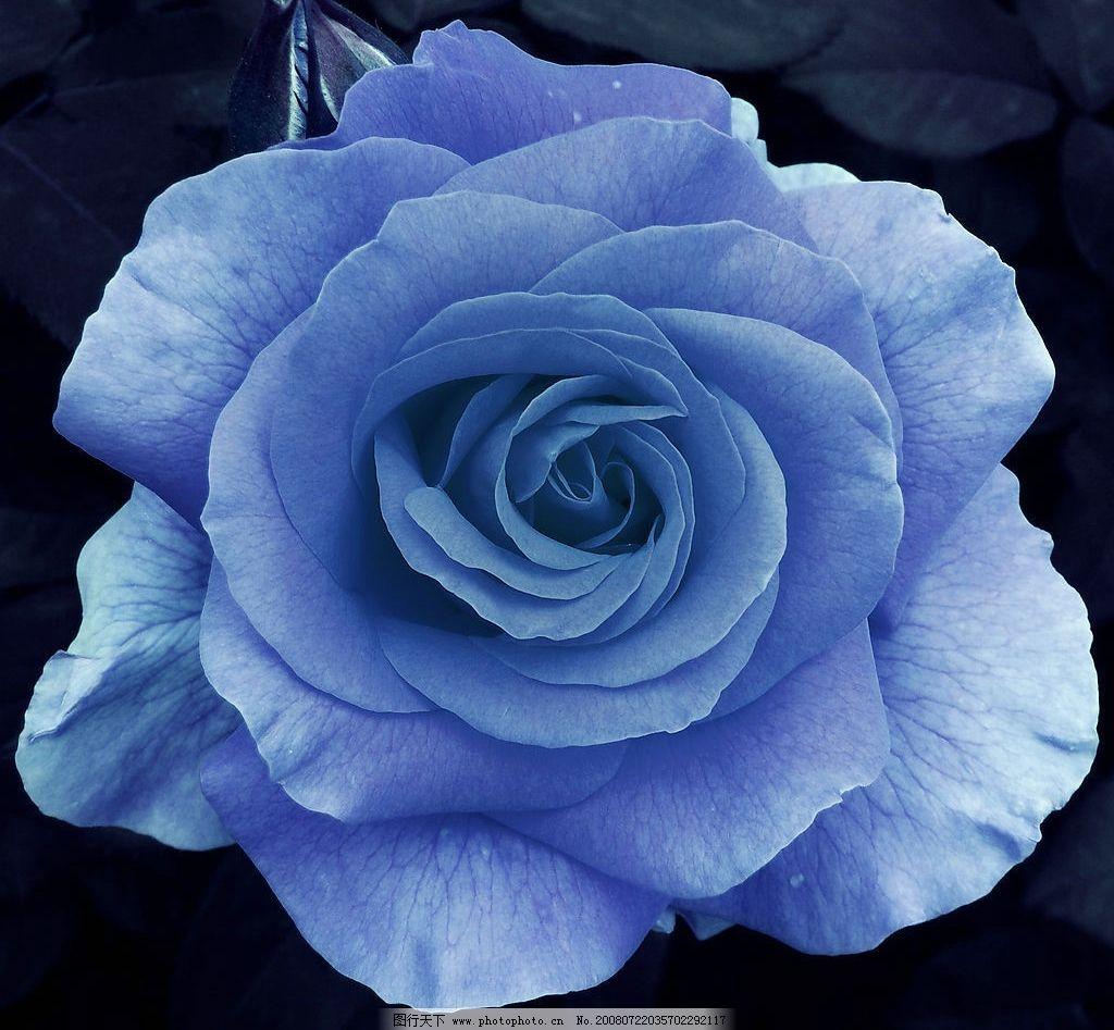 蓝玫瑰 蓝色 玫瑰花 高清晰 特写 玫瑰 生物世界 花草 花和嫩芽 摄影