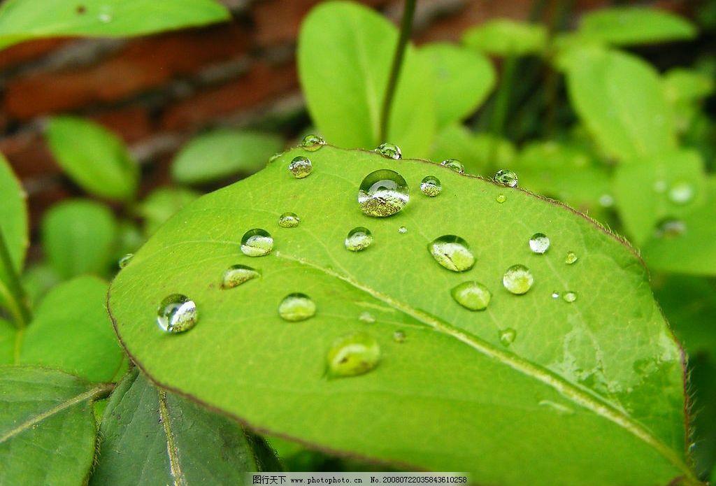 金银花叶上的水珠图片