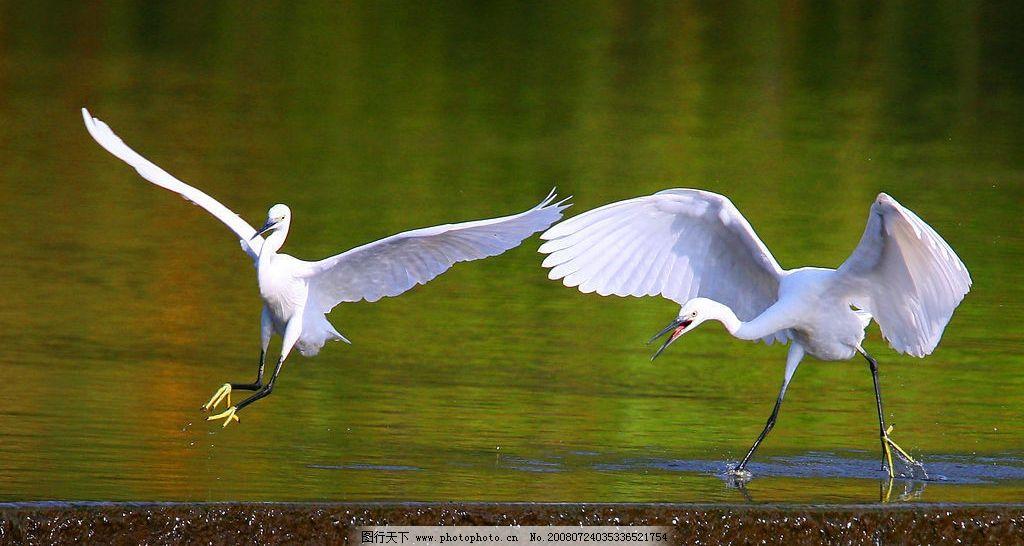 水边白鹭 嬉戏 美丽 优雅 动物 展翅 天空之飞鸟 摄影图库
