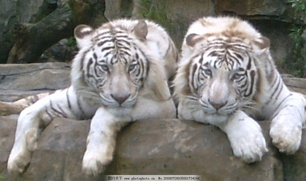 白老虎 野生动物 生物世界 动物 摄影图库 96dpi jpg