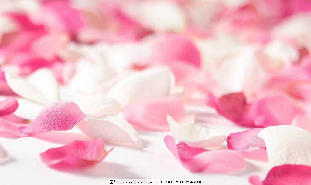 摄影图库 生物世界 花草  玫瑰花花瓣 玫瑰花花瓣图片素材 花瓣 玫瑰