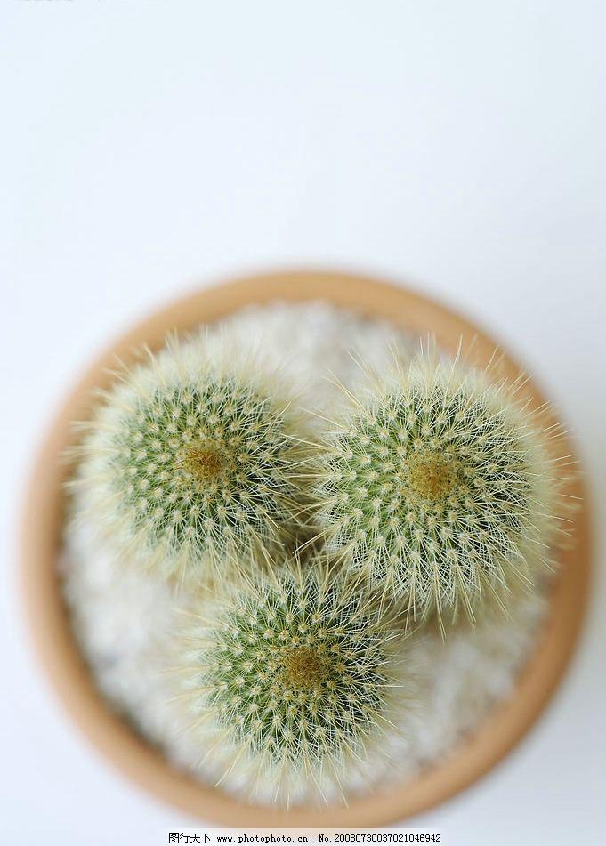 仙人掌 仙人球 花卉 植物 盆栽 俯视 淡雅 生活素材 静谧生活
