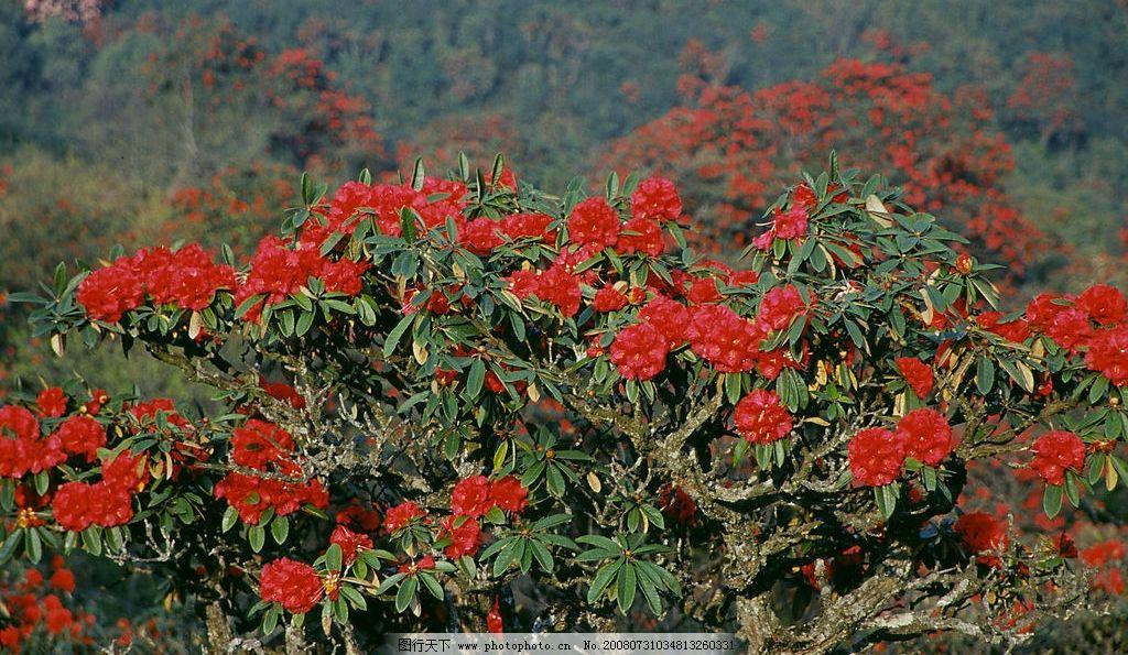 杜鹃花 不一样的环境 不一样的花儿 自然景观 自然风景 师宗风景图片