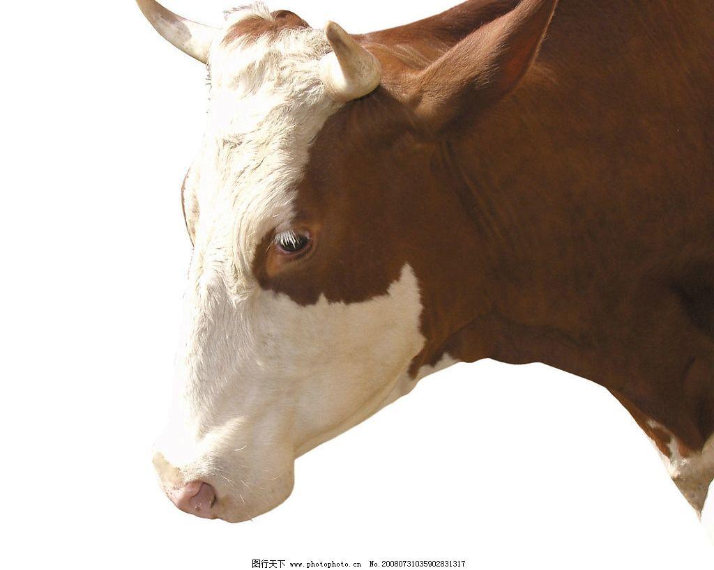 奶牛 家畜 动物 高精度去除背景的家禽 家畜动物图片 摄影图库