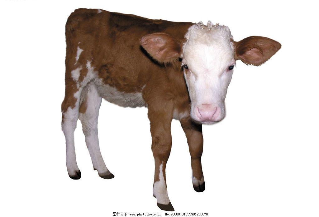 小牛的尹m�9`��.�9.b_小牛图片