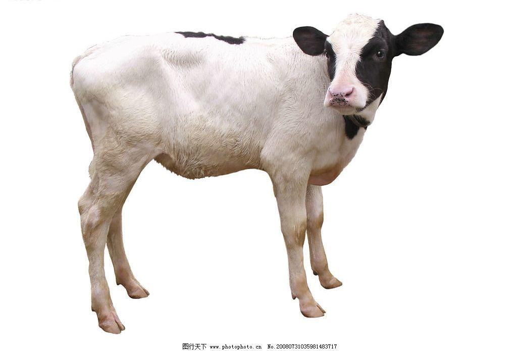 小牛 牛 家畜 动物 奶牛 生物世界 家禽家畜 高精度去除背景的家禽