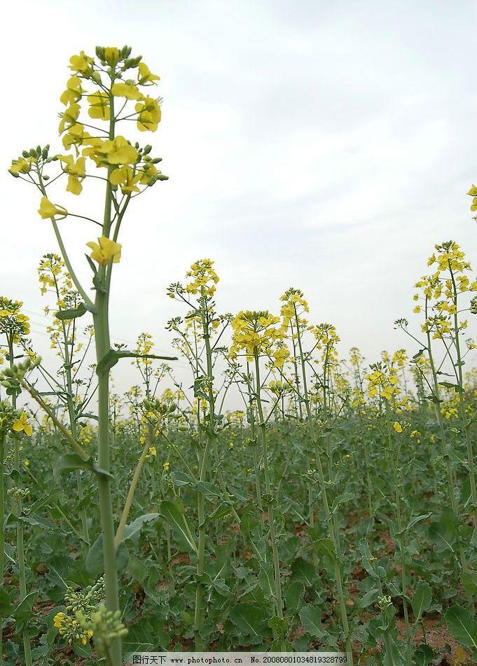 油菜花 春天 景色 油菜花的景色 花朵 自然景观 自然风景 摄影图库