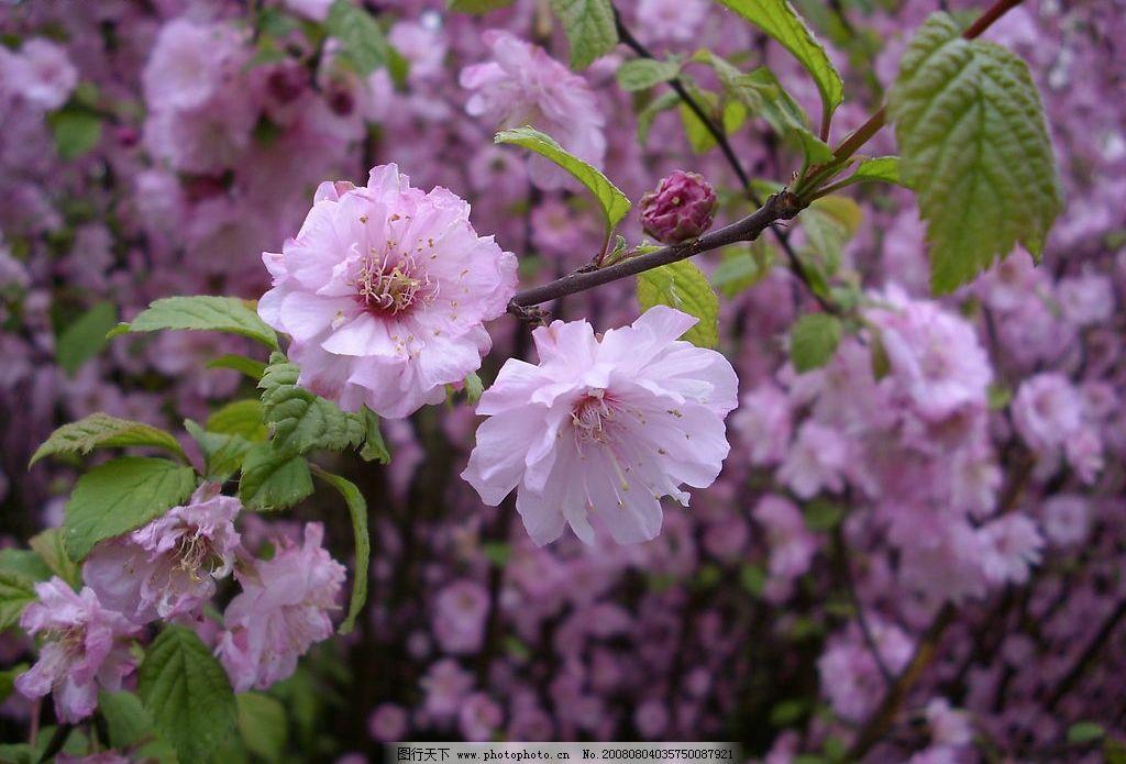 鲜艳梅花 粉色花朵 粉色花卉 自然景观 自然风景 摄影图库 生物世界