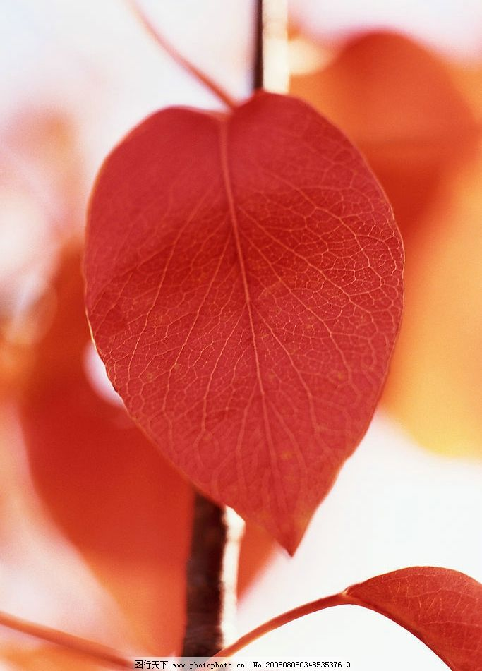 秋天树叶 秋季 红叶 自然景观 自然风景 摄影图库 300dpi jpg