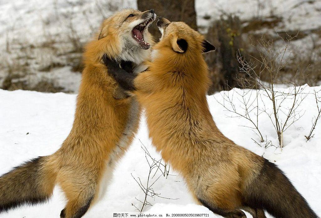争斗的狐狸 冰天雪地 动物世界 打架的狐狸 生物世界 野生动物 摄影